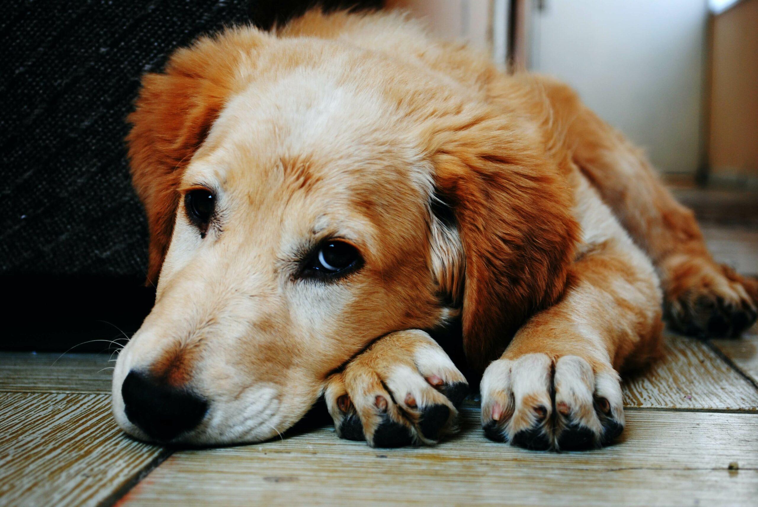 Le Pet Tracker Invoxia sauve un chien coincé dans un piège à renard pendant 48h