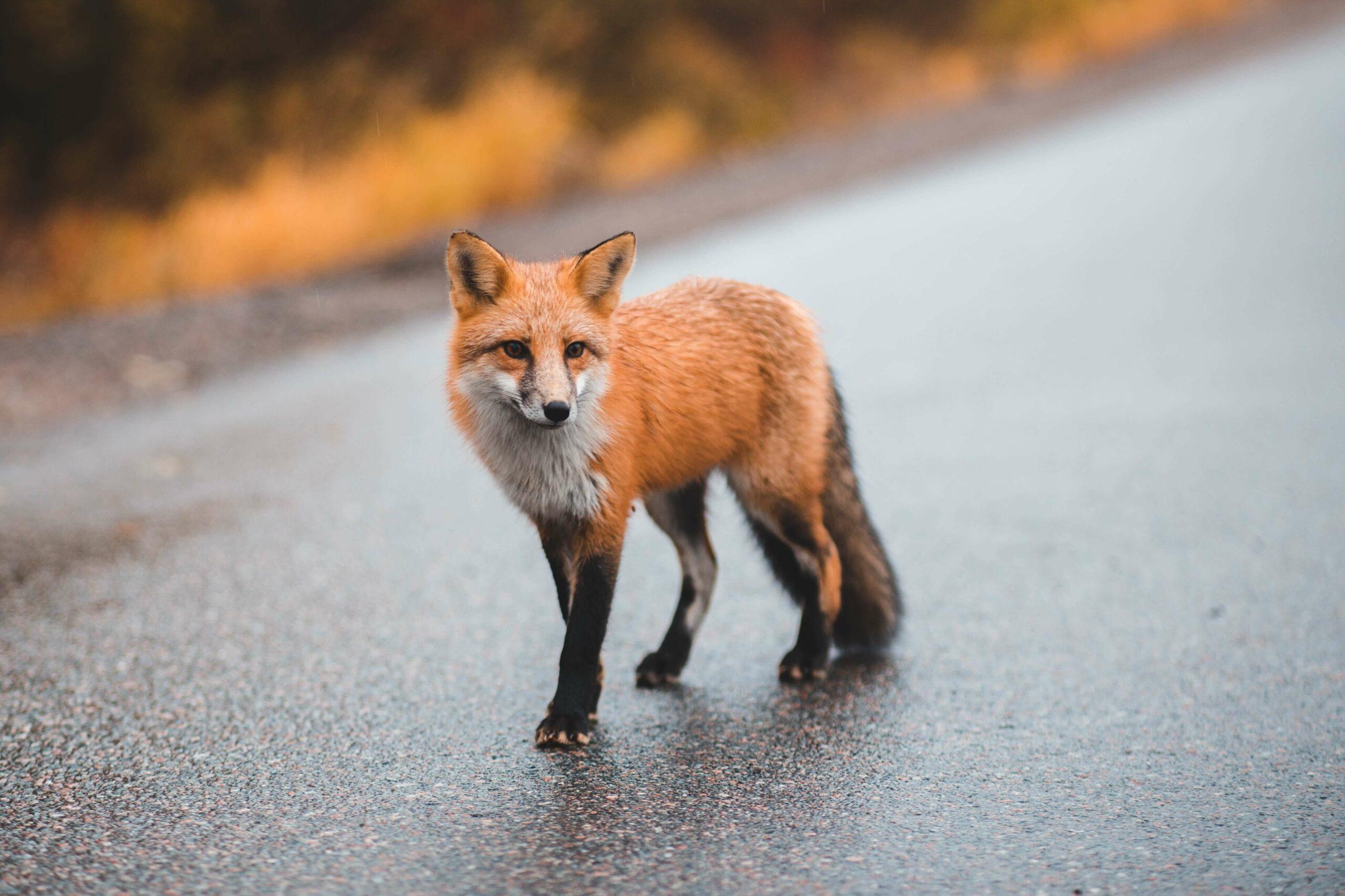 Le Tracker GPS Invoxia enquête sur un renard voleur